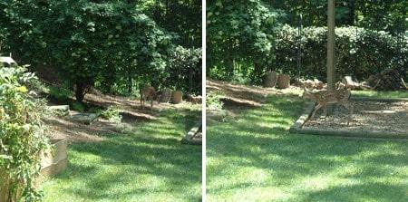 Deer eating the zucchini