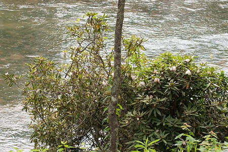 Rhododendron blooming along the Toccoa River.