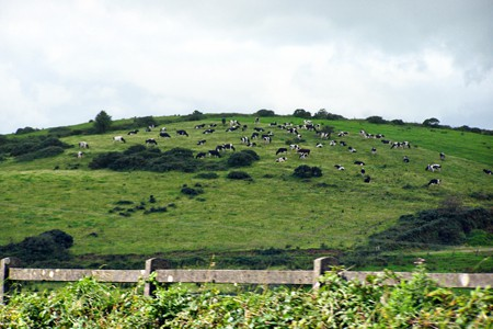Gorgeous black and white cows in the Irish countryside