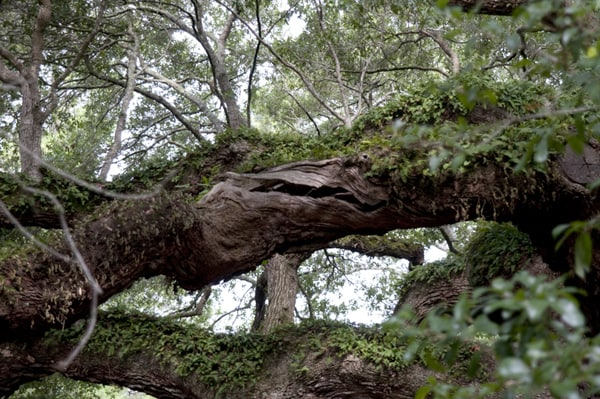 Angel Oak | Never Enough Thyme
