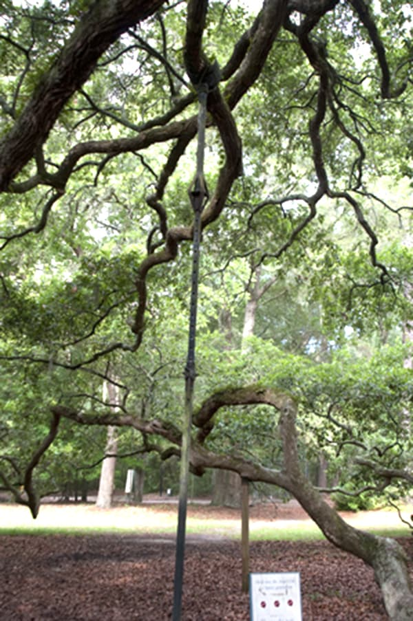 The majestic Angel Oak, John's Island, South Carolina - 1500 years old and the oldest living thing east of the Mississippi River. From @NevrEnoughThyme http://www.lanascooking.com/angel-oak/