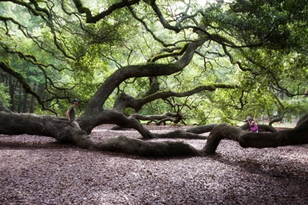 The majestic Angel Oak, John's Island, South Carolina - 1500 years old and the oldest living thing east of the Mississippi River. From @NevrEnoughThyme https://www.lanascooking.com/angel-oak/