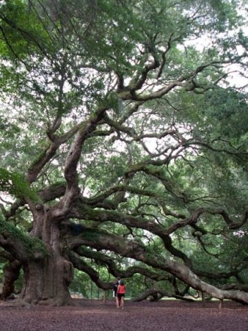 The majestic Angel Oak, John's Island, South Carolina - 1500 years old and the oldest living thing east of the Mississippi River. https://www.lanascooking.com/angel-oak/