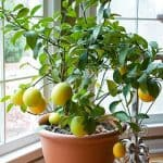 Lemon and Cherry Muffins