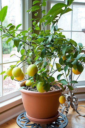 Meyer lemon tree in my office bay window