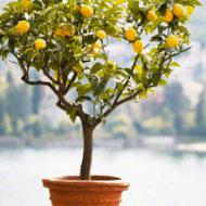 Giveaway – Meyer Lemon Tree from Brighter Blooms Nursery