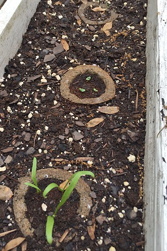 The Scott's Gro-Ables are sprouting!