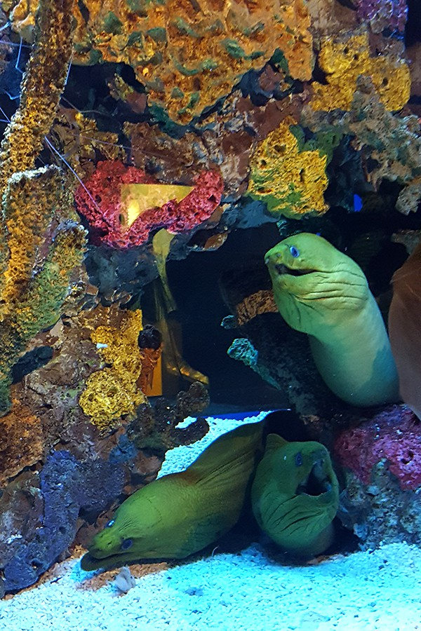 Moray Eels at Ripley's Aquarium http://www.lanascooking.com/myrtle-beach