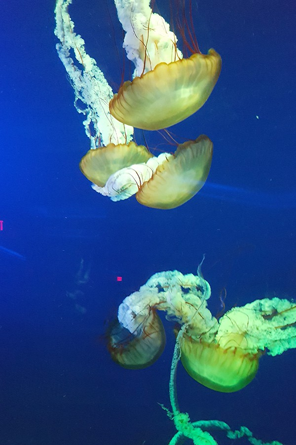 Jellyfish at Ripley's Aquarium - Myrtle Beach - http://www.lanascooking.com/myrtle-beach
